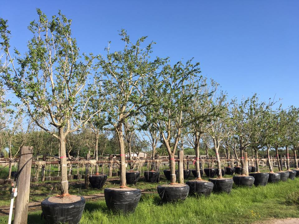 Potted trees