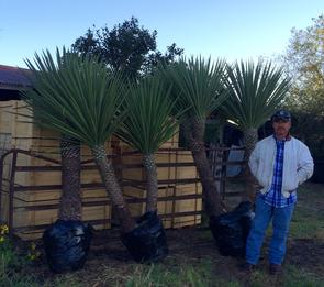 Spanish Daggers - Yucca Treclueana