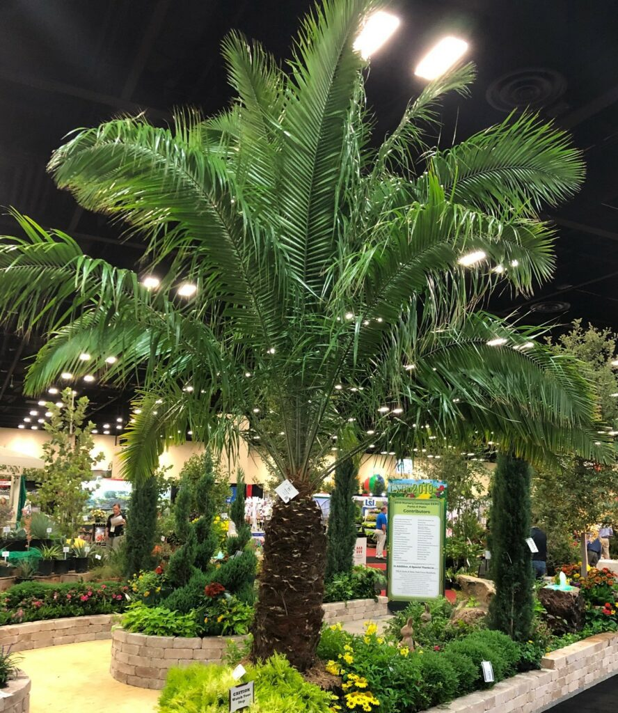 Cliff Date Palms