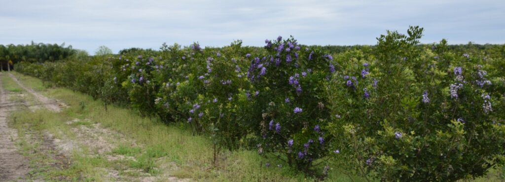 Field of Texas Mountain Laurels