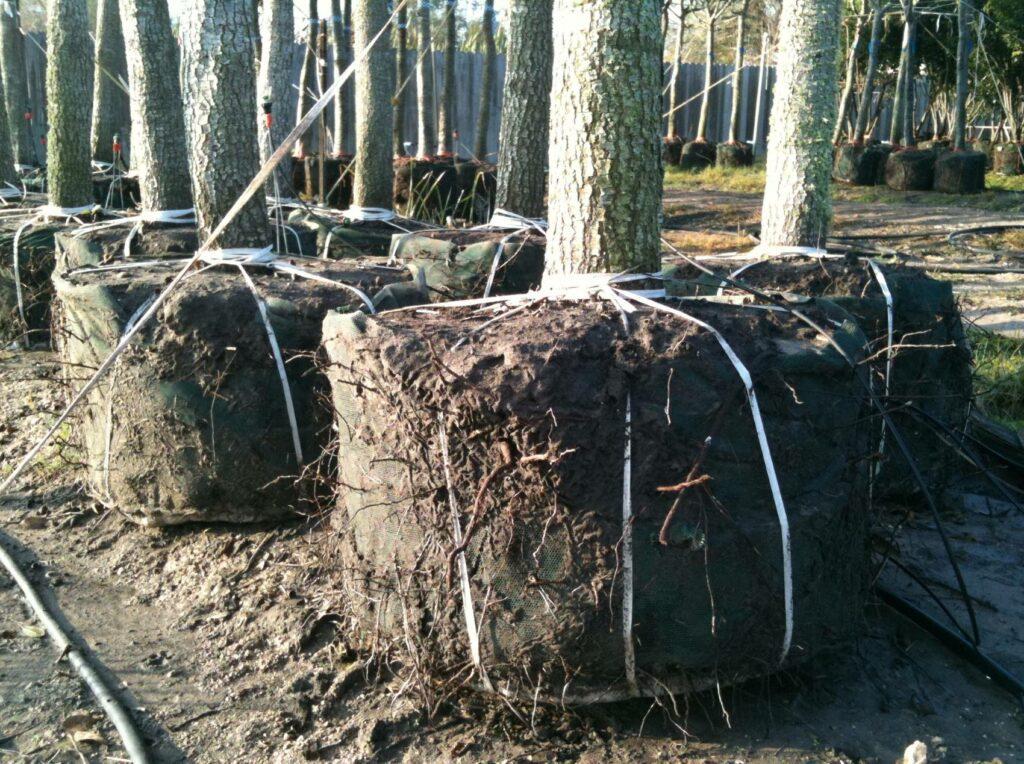 Oak Rootball
