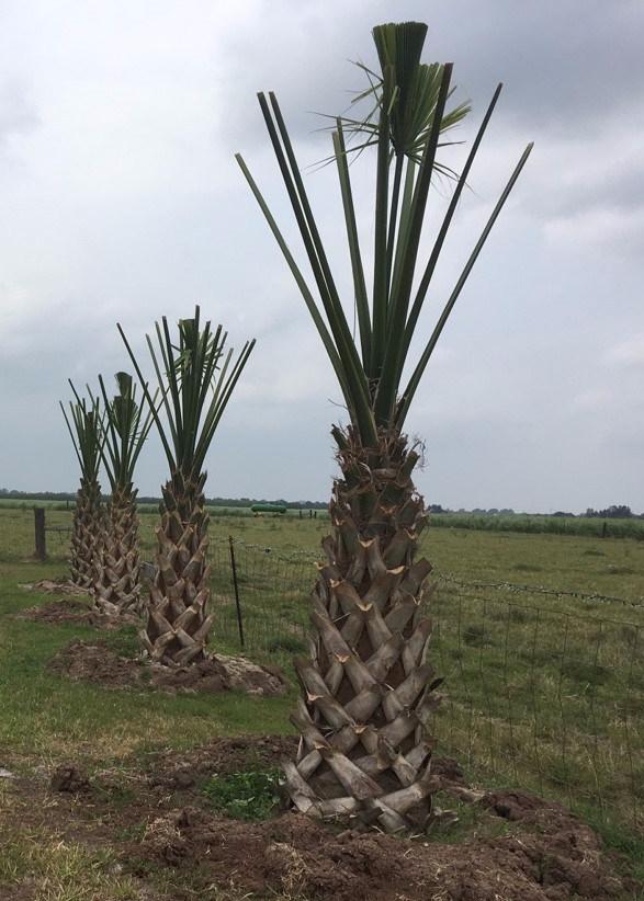 Transplanting Texas Sabal Palms