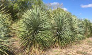 Yucca rostratas